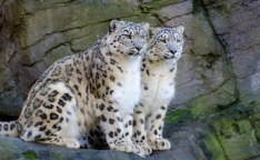 Snow Leopards 2