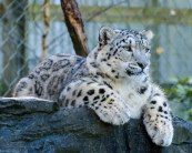 Snow Leopards 3