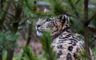 "Snow Leopard ""Dad"""