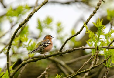 Chaffinch - singing his heart out