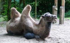 Bactrian camel @Dudley Zoo