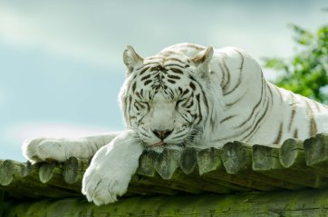 White Tiger @ WM Safari Park
