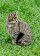 Scottish Wildcat