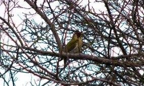 Green Woopecker passing through