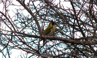 Green Woopecker passing through