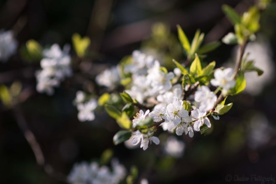 Plum blossom @ F2