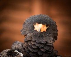 Seymour ( Bateleur Eagle)