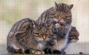 Scottish wildcats