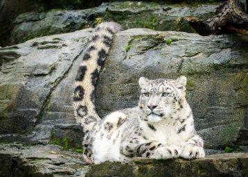 Snow Leopard - Indeever