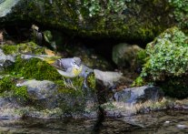 Grey Wagtail